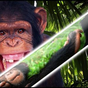 chimp cue